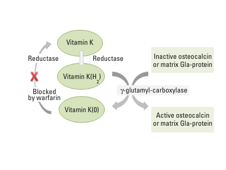 Cycle Vitamin Figure 2 The Vitamin k Cycle