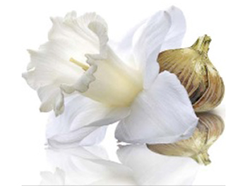Image result for narcissus flower benefits
